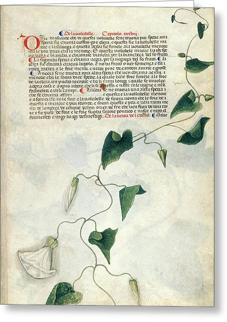 Bindweed (convolvulus Sp.) Greeting Card by British Library