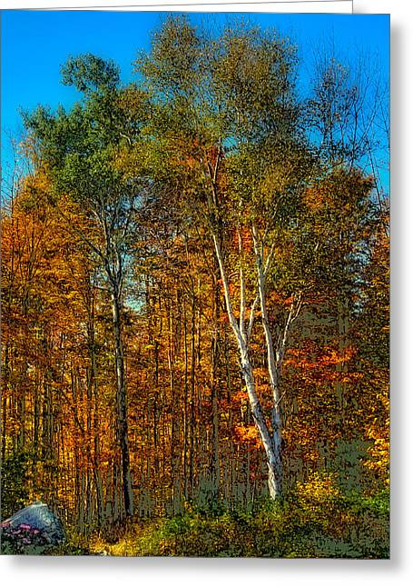 Birch Among The Maples Greeting Card