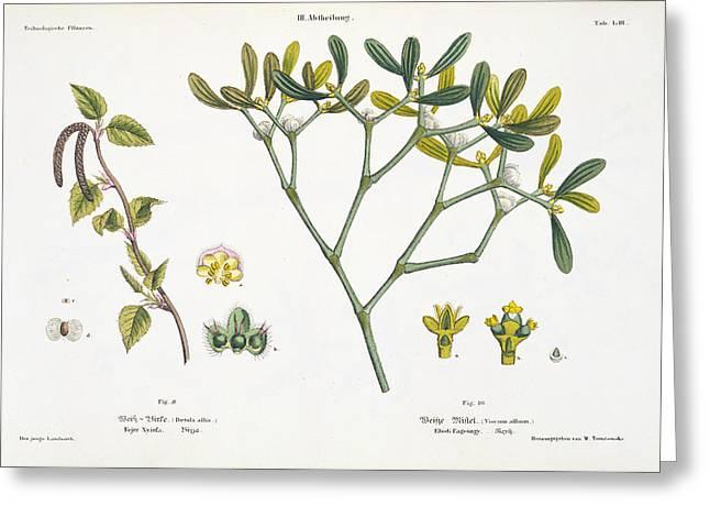 Birch And Mistletoe Greeting Card by Matthias Trentsensky