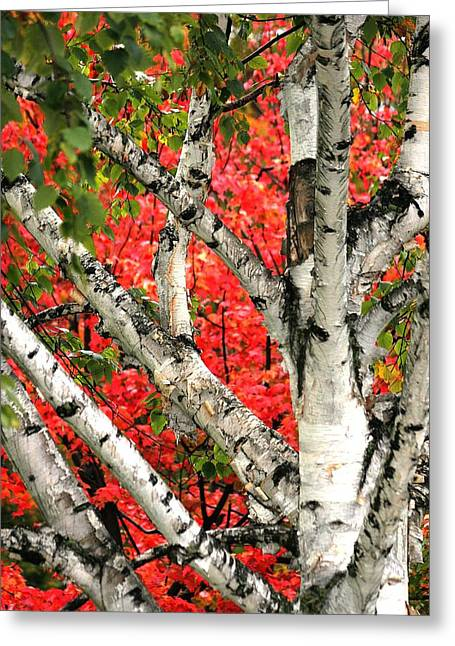 Greeting Card featuring the photograph Birch Eclipsing Maple by Doris Potter