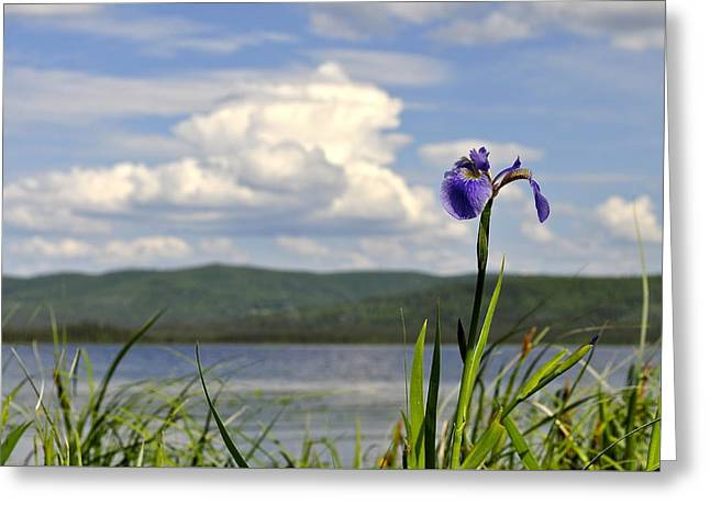 Greeting Card featuring the photograph Birch Lake Iris by Cathy Mahnke
