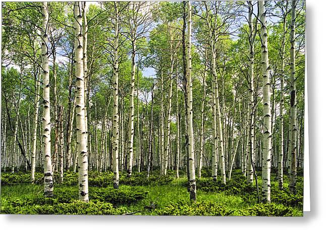 Birch Tree Grove In Summer Greeting Card by Randall Nyhof