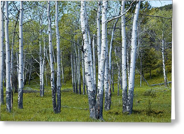 Birch Tree Grove No. 0133 A Fine Art Photograph Greeting Card by Randall Nyhof