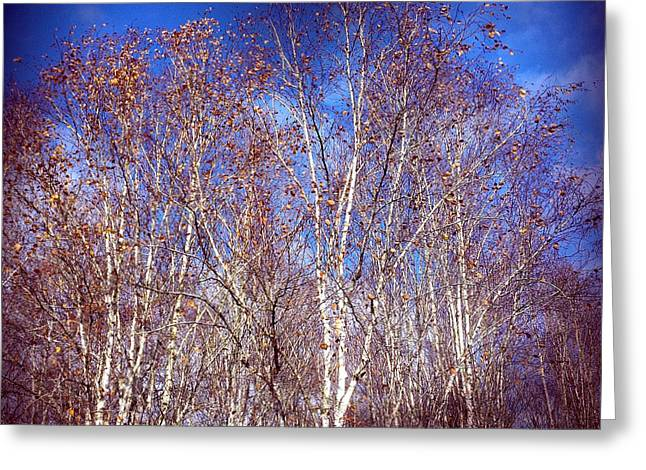 Birch Trees And Blue Sky In Autumn Greeting Card