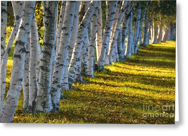 Birch Trees Autumn Sunlight Greeting Card by Henry Kowalski