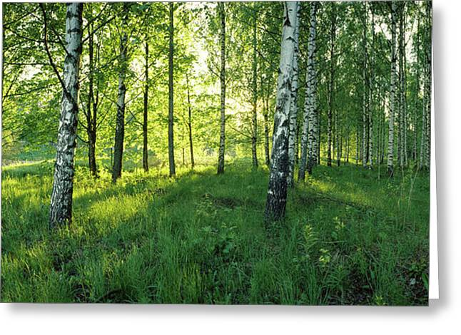 Birch Trees By The Saimaa Canal Greeting Card