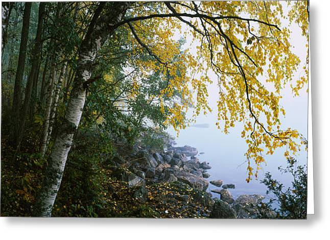 Birch Trees In A Forest, Puumala Greeting Card
