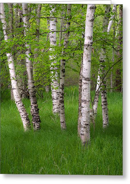 Birch Trees In The Great Meadow, Acadia Greeting Card