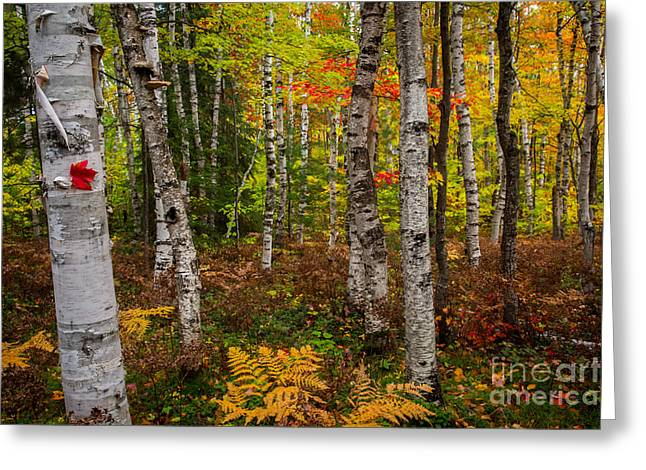 Birch Trees Greeting Card by Todd Bielby