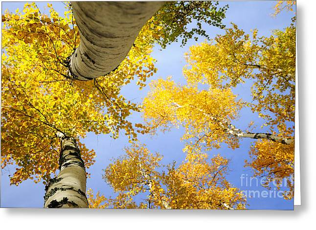 Birches In Autumn Colors Greeting Card by Marleen  Bos