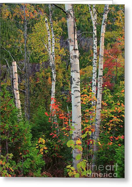 Birches In Fall Greeting Card