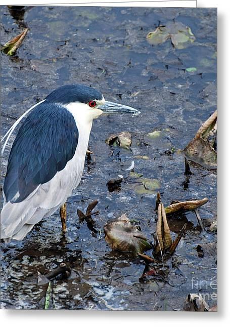 Bird - Black Crowned Night Heron Greeting Card by Paul Ward