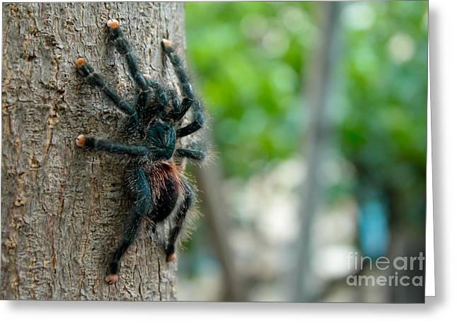 Bird-eater Tarantula / Tarantula Comedora De Aves Greeting Card by Daniel Castillo