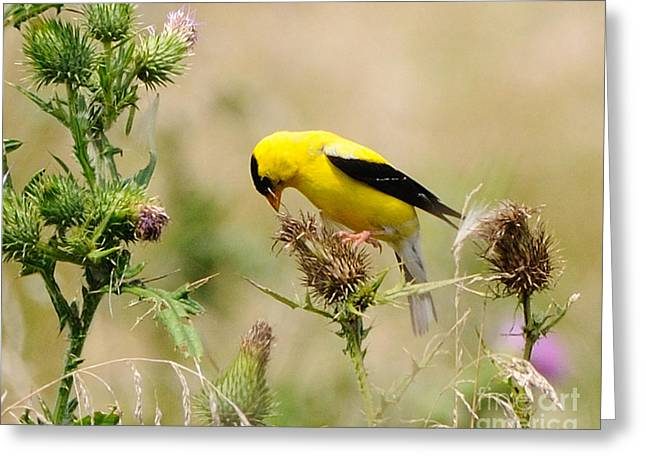 Bird -gold Finch Feasting  Greeting Card by Paul Ward