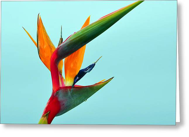 Bird Of Paradise Against Aqua Sky Greeting Card