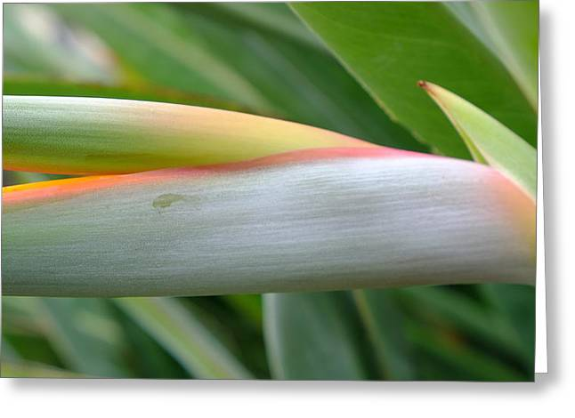 Bird Of Paradise Bud Greeting Card