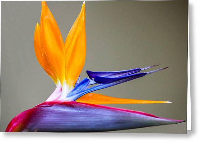 Bird Of Paradise Flower Greeting Card by Photographic Art by Russel Ray Photos