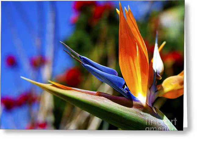 Greeting Card featuring the photograph Bird Of Paradise Open For All To See by Jerry Cowart