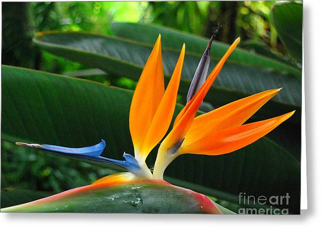 Bird Of Paradise  Greeting Card by JRP Photography