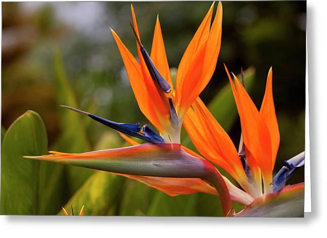 Bird Of Paradise, Kula Botanical Greeting Card