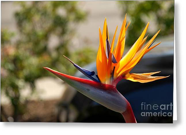 Bird Of Paradise Greeting Card by Leo Sopicki