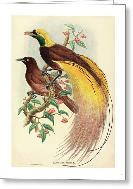 Bird Of Paradise Paradisea Apoda, Published 1875 1888 Greeting Card