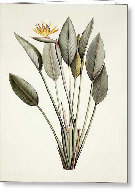 Bird Of Paradise Greeting Card by Pierre Joseph Redoute