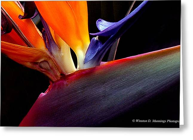 Bird Of Paradise - South African Native  Greeting Card