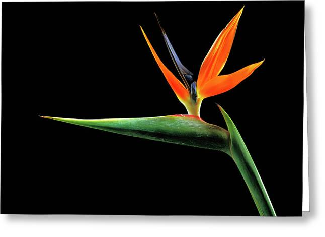 Bird Of Paradise (strelitzia Reginae) Greeting Card by Gilles Mermet