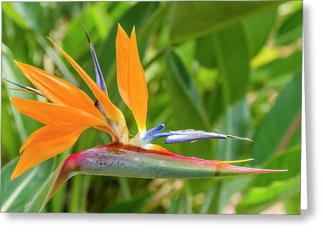 Bird Of Paradise (strelitzia Reginae Greeting Card