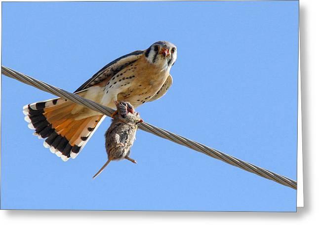 Bird Of Prey Greeting Card by Jill Bell