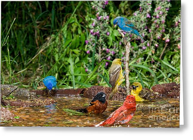 Birds Bathing Greeting Card by Anthony Mercieca