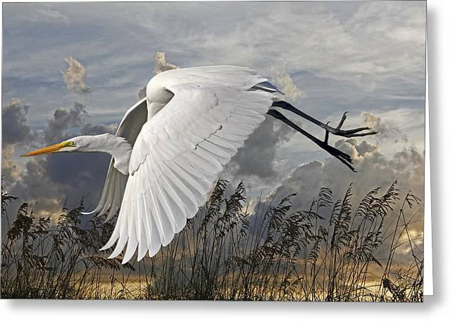 Birds - Beach Beauty - Great Egret Greeting Card
