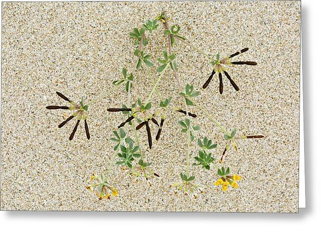 Bird's Foot Trefoil (lotus Cytisoides) Greeting Card