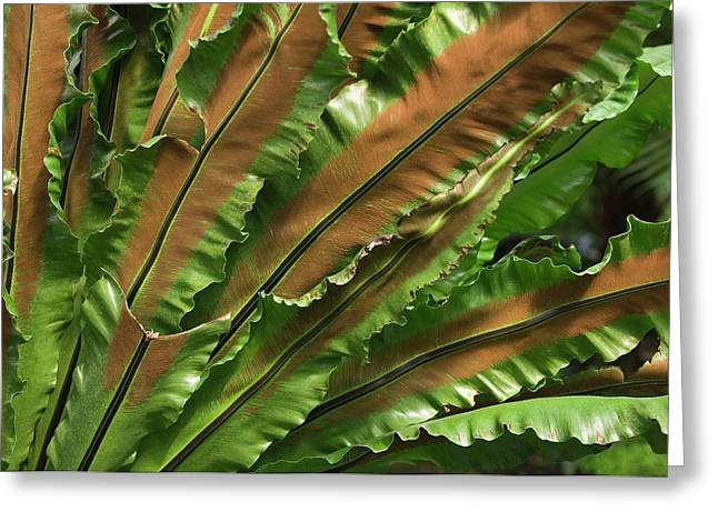 Bird's Nest Fern (asplenium Nidus) Greeting Card by Maria Mosolova