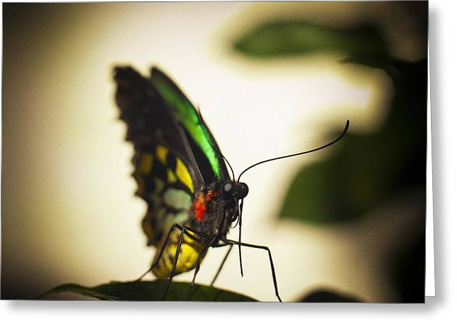 Birdwing Butterfly Greeting Card by Bradley R Youngberg