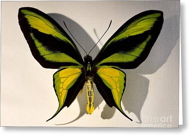 Birdwing Butterfly Ornithoptera Greeting Card