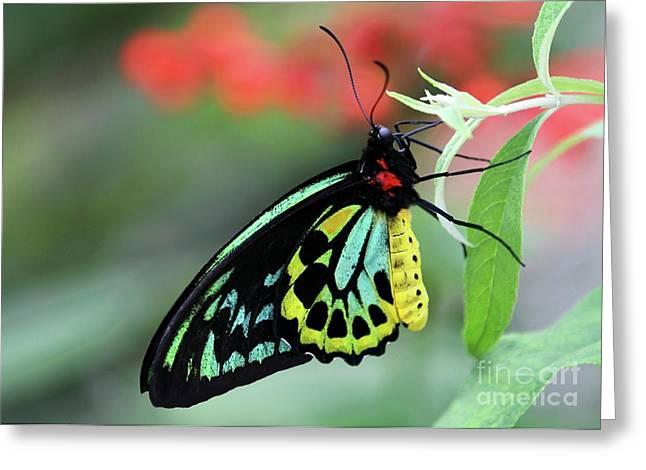 Birdwing Butterfly Greeting Card
