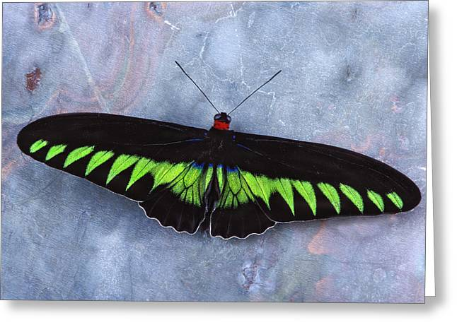 Birdwing Butterfly Trogonoptera  Greeting Card by Robert Jensen
