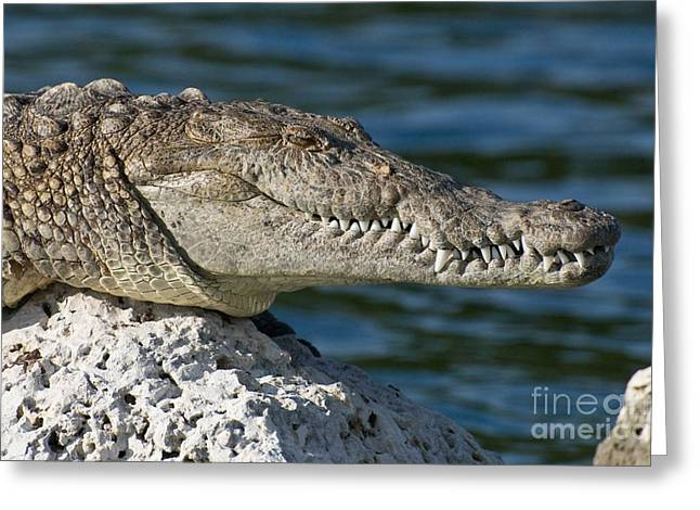 Greeting Card featuring the photograph Biscayne National Park Florida American Crocodile by Paul Fearn