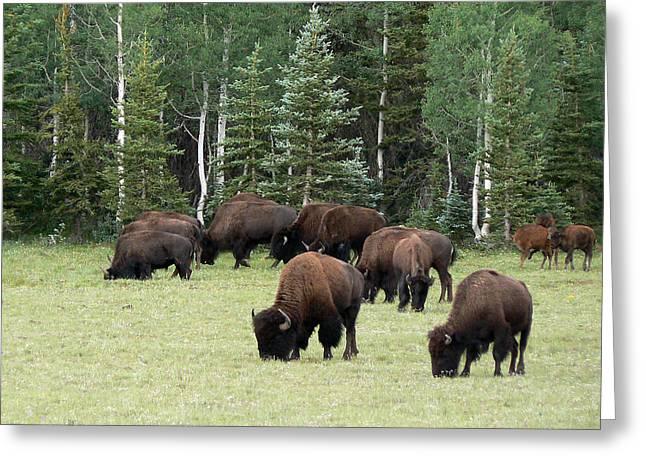 Bison At North Rim Greeting Card