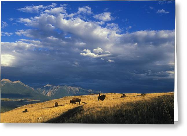 Bison Back From The Brink Greeting Card by Ryan Hagerty