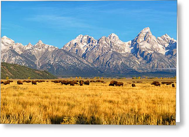 Bison Beneath The Tetons Limited Edition Panorama Greeting Card