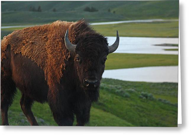 Bison Bull In Hayden Valley In Yellowstone National Park Greeting Card