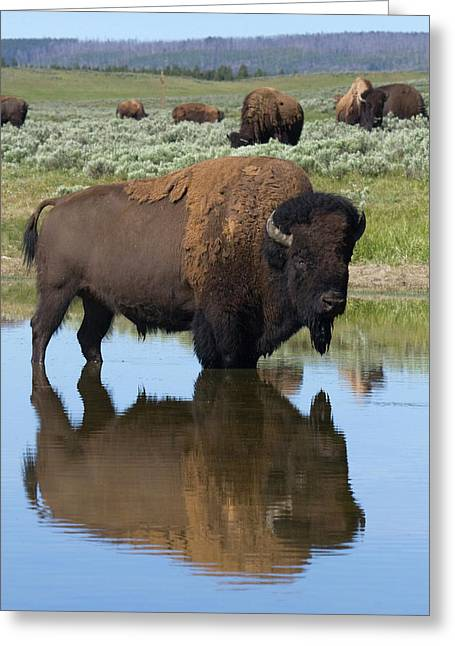 Bison Bull Reflecting Greeting Card by Ken Archer