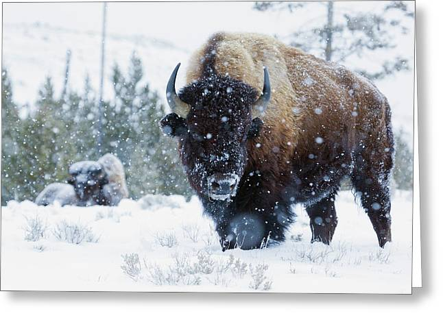 Bison Bulls, Winter Landscape Greeting Card by Ken Archer