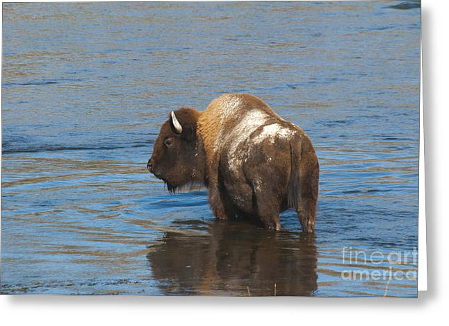 Bison Crossing River Greeting Card