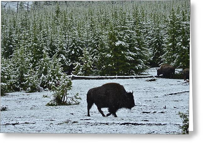 Bison Foraging In Snow Greeting Card