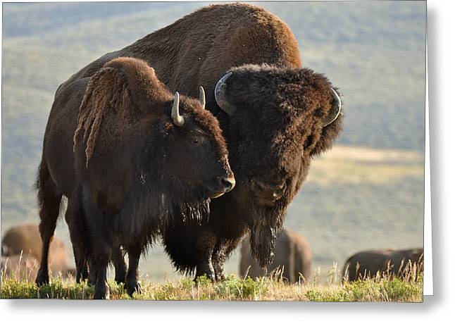 Bison Friends Greeting Card by Bruce Gourley