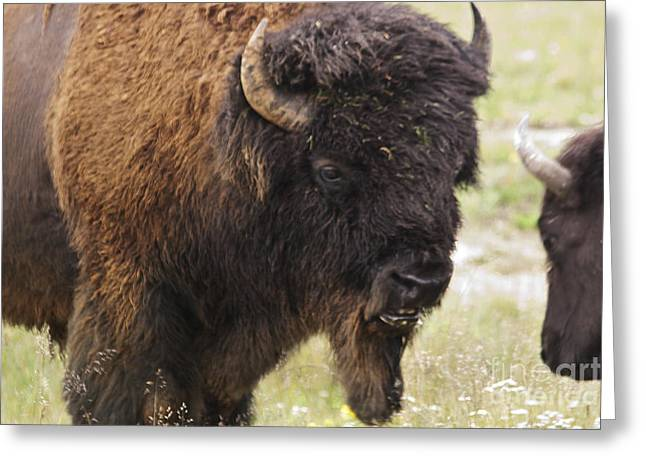 Greeting Card featuring the photograph Bison From Yellowstone by Belinda Greb